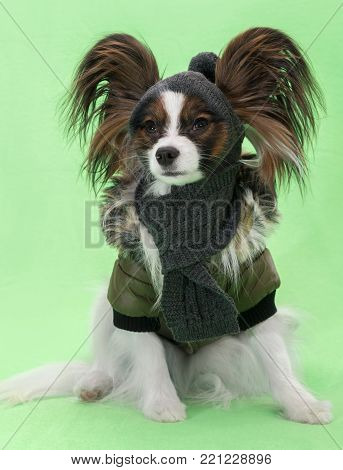 Beautiful young continental spaniel papillon in a winter jacket and hat with a scarf on a green background