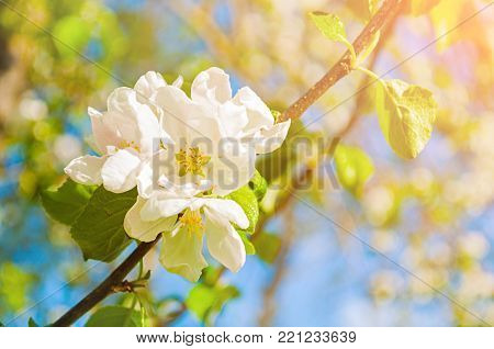 Spring background with flowers of blooming spring apple tree under sunlight, focus at the central flowers, spring nature flower landscape. Closeup of spring apple flowers in spring blossom. Spring nature background