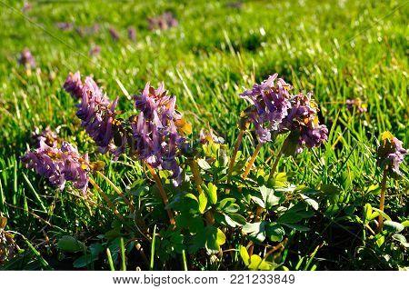 Spring landscape scene. Spring flowers of Corydalis halleri in spring blossom. Closeup of spring flowers, sunny spring landscape view. Floral spring landscape nature