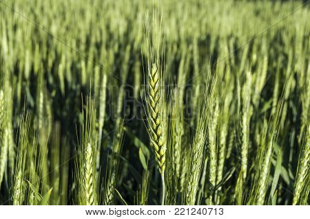 green wheat spike, green raw wheat spike pictures on the field. green ears of wheat green ears of wheat crude pictures on a white background,