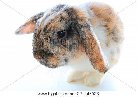 Rare rabbit color. Orange black white dwarf lop widder bunny with special tricolor pattern. Rabbit patterns. Orange fox rex tricolor black white broken tricolor tiger pattern. Harlequin japanese lop. Rare.