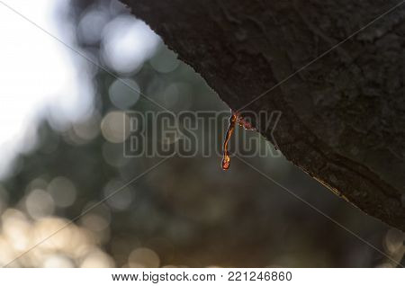 View of vegetable rosin of a tree