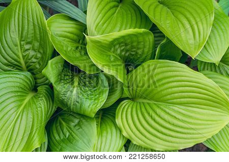 Beautiful Hosta leaves background. Hosta - an ornamental plant for landscaping park and garden design. Large lush greenery with streaks. Veins of the leaf.
