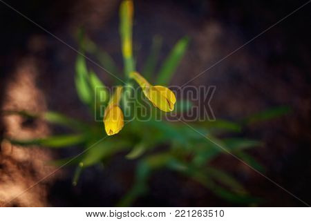 Blooming daffodils against dark background Daffodil blossoms and buds Narcissus pseudonarcissus Yellow spring flowers Flower bed with jonquils Happy Easter