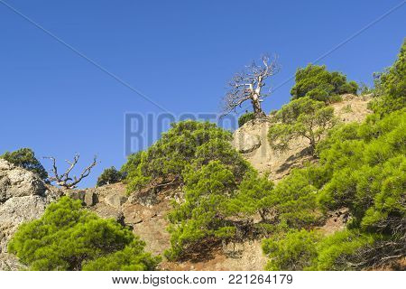 Mountain forest. Silhouettes of dried relict pines against a blue cloudless sky. Karaul-Oba, Novyy Svet, Crimea.