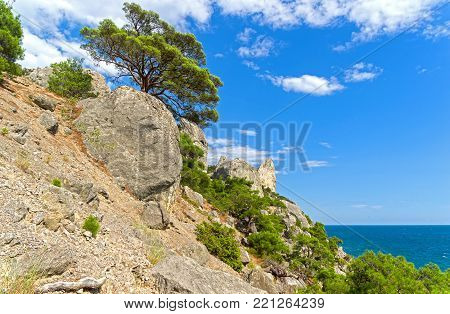 Relict pines on a steep rocky shore above the sea. Crimea