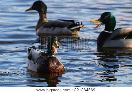 A trio of mallard drakes quacking to impress female ducks