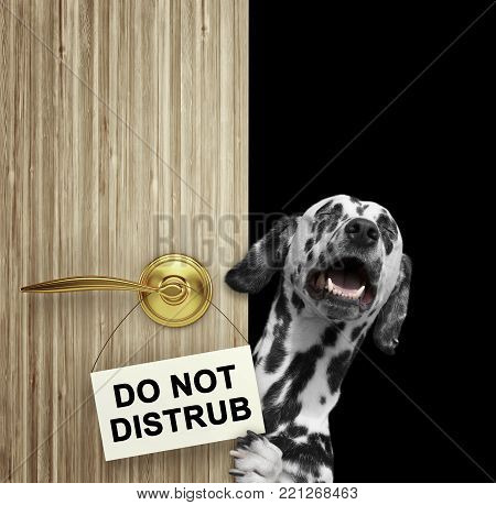 Happy dalmatian dog peeks out from behind the door. Isolated on white background
