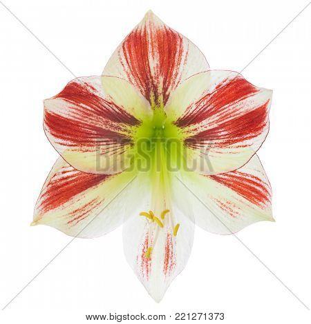 Single red and white Amaryllis blossom isolated on white background
