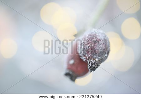 Frozen Rose Hip with a Beautiful bokeh. Macrophotography