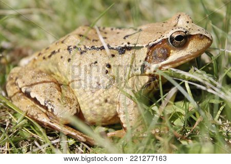 closeup of common brown toad in the grass