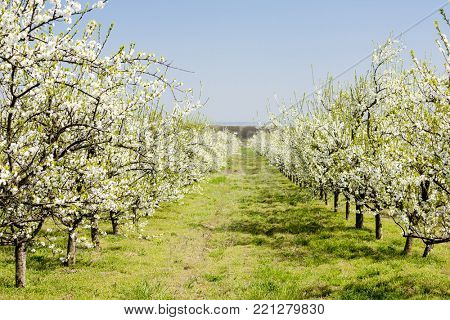 blooming apricot orchard