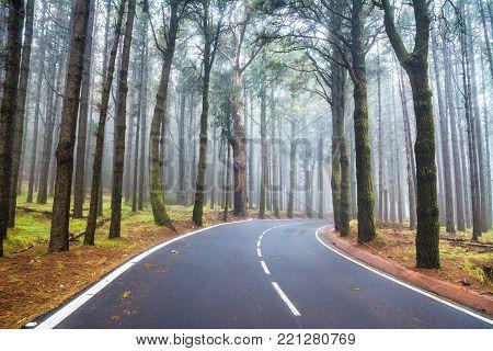 An asphalt road that goes through a misty dark misterious pine forest. Tenerife, Canary Islands