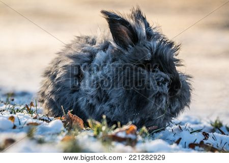 Fluffy Angora Bunny outside in South Norway