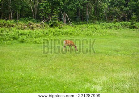 A young Sika Deer walking through the forest and fields
