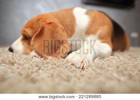 Sleeping beagle dog on soft carpet. Dog paw close-up on white carpet.