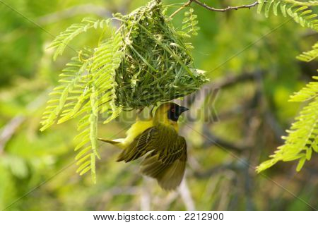 Southern masked weaver (Ploceus