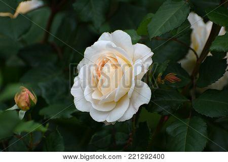 Flower Of Cream Rose In The Summer Garden. English Rose Crocus Rose Of David Austin.
