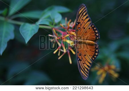 Monarch butterfly taking nectar from orange-yellow flowers, with wings spread on deep green background.