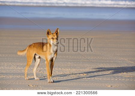Dingo on the beach in Great Sandy National Park