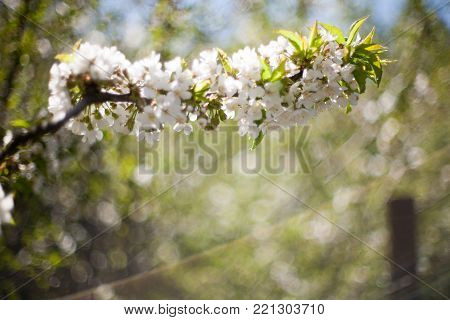 Spring. apricot apple Trees in Blossom. flowers of apricot . white blooms of blossoming tree close up. Beautiful spring blossom of apple cherry apricot tree with white flowers.