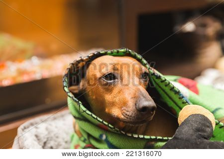 Cute dachshund wrapped up in a cozy green blanket.