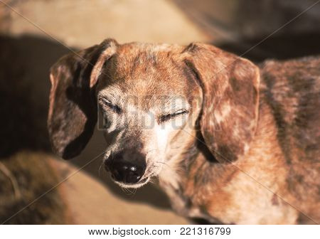 An old dachshund and chihuahua mixed-breed dog closes its eyes in sunlight.