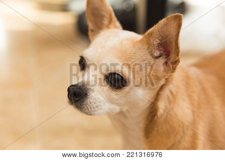 Senior-age purebred chihuahua dog with light fur and brown eyes.