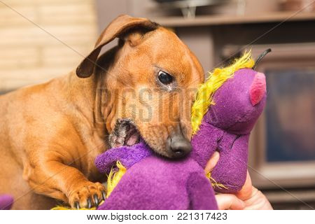Cute dachshund dog playing with a purple stuffed toy.