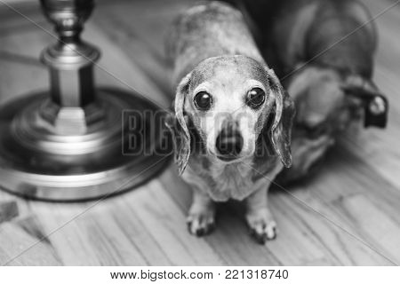 Elderly chihuahua-dachshund mixed dog staring intensely into the camera with big eyes.