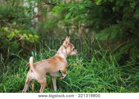 Young fawn-colored chihuahua pointing while exploring outside in green grass.