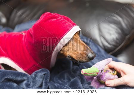 Dachshund wearing a hooded jacket and sniffing a stuffed toy.