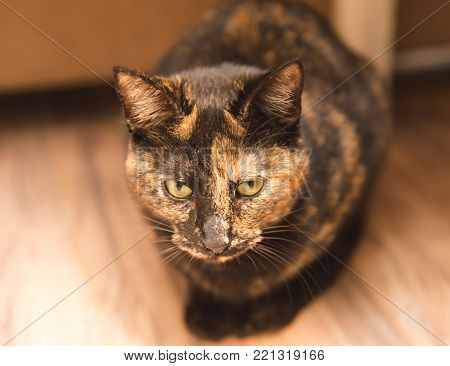 Brown multicolor cat sitting on a wood floor and staring ahead.