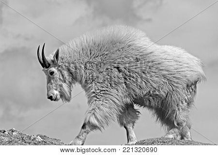 Mountain Goat Black Elk Peak Black Hills South Dakota United States