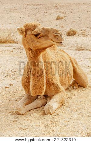 Picturesque desert dromedary camel lying on sand. Summer sahara travel and tourism.