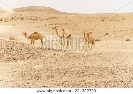 Group of dromedary camels walking in wild desert heat nature. Sandy wilderness morning