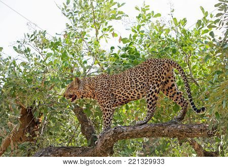 Leopard (Panthera Pardus) walking across a large tree branch in south luangwa national park, zambia, southern africa
