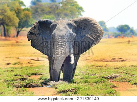 African Elephant standing in the middle of a lagoon with ears extended and a natural bushveld background in South Luangwa National Park, Zambia