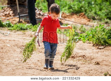 Cute Caucasian boy with colorful carrots in his hands walking in the farm.