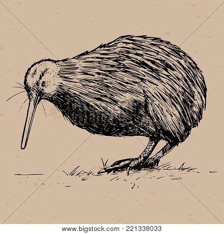Hand drawn Kiwi Bird, Native bird of New Zealand