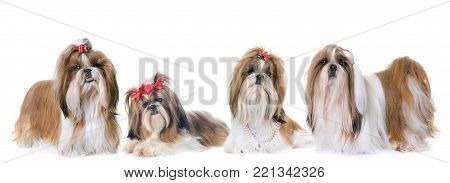 purebred Shih Tzu in front of white background