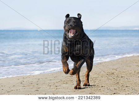rottweiler playing on the beach in september