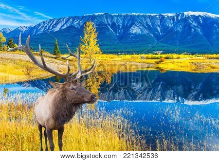 Canadian deer with horns resting on the shore of the lake. Concept of ecological and active tourism. Lake Abraham is the colossal pond in the Rockies of Canada