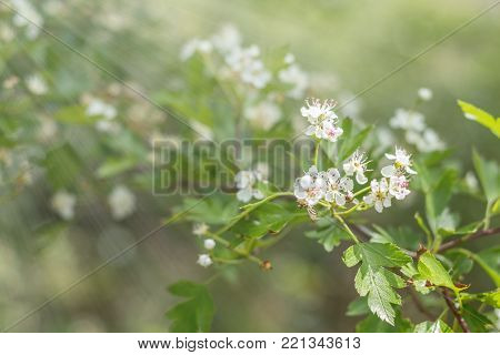 Beautiful Spring Scene With Many Little Flowers. Cherry Bird-cherry Tree Blossom. Toned Photo. Shall