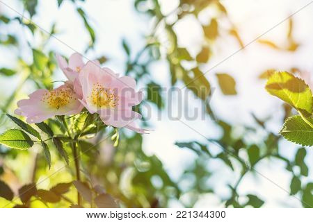 Beautiful Summer Scene With Dog-rose Flowers On Blue Sky Background. Toned Photo. Shallow Depth Of T