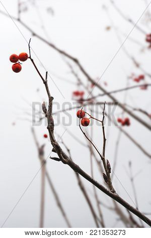 Red berries of mountain ash on a leafless tree in autumn close-up.