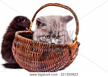 playful Scottish Fold and Scottish Straight playful kitten in basket isoliert on white background