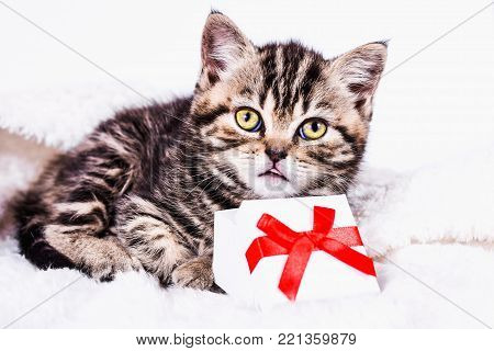 Scottish Straight kitten in a plaid with gift box on white background
