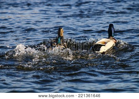 A pair of mallard drakes in pursuit of a female