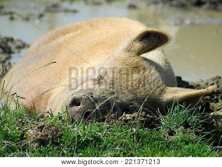 A Pig Taking A Nap In Wet Mud